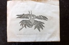 Cooke 1801 Antique Botanical Print. Bread Fruit Tree of the South Sea Islands